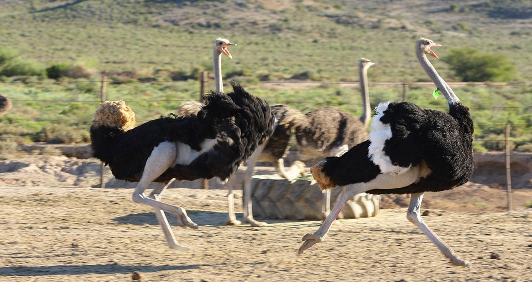Highgate_Ostrich_Show_Farm
