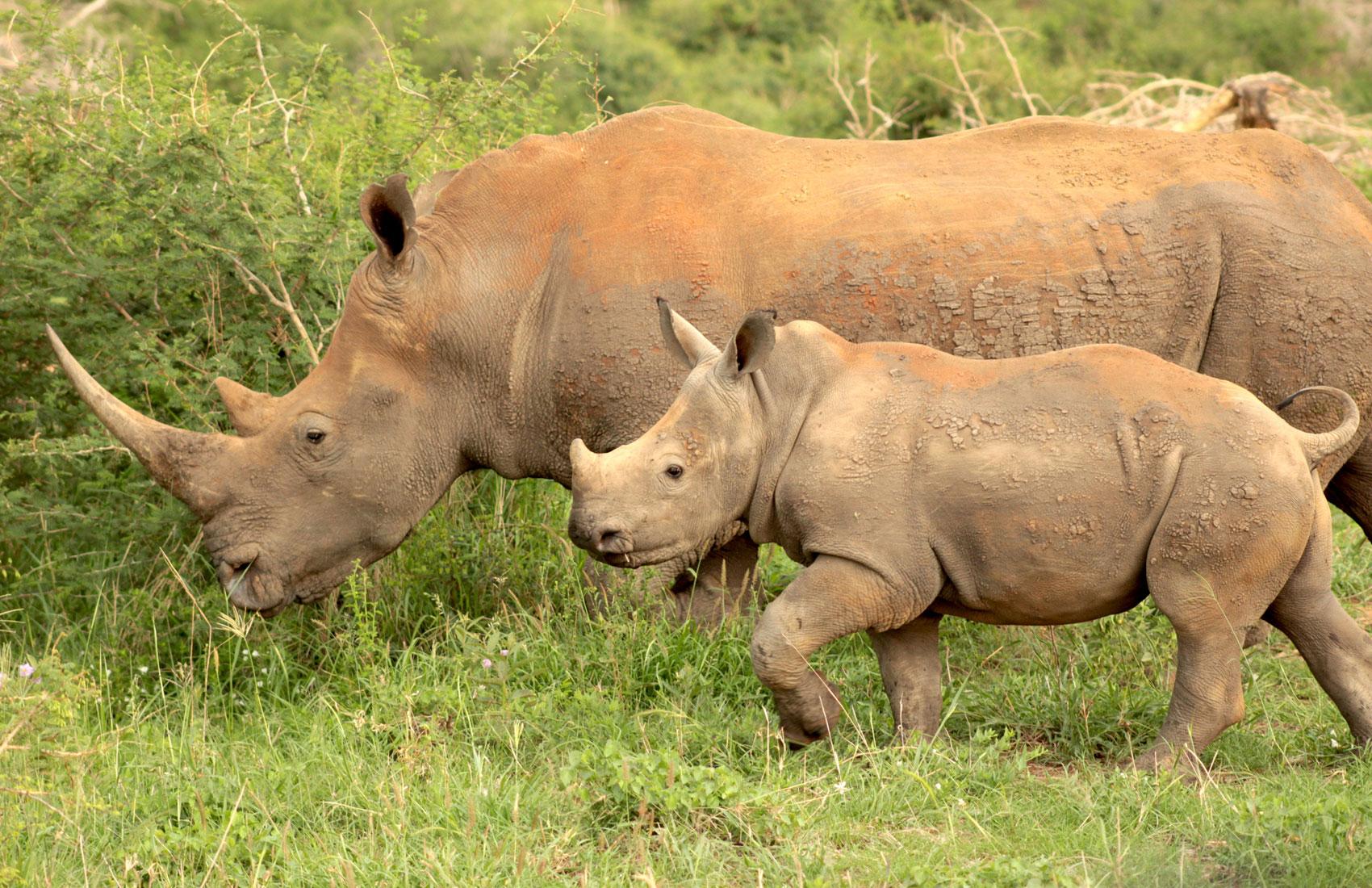 Rhino_Conservation_Levy_Madikwe