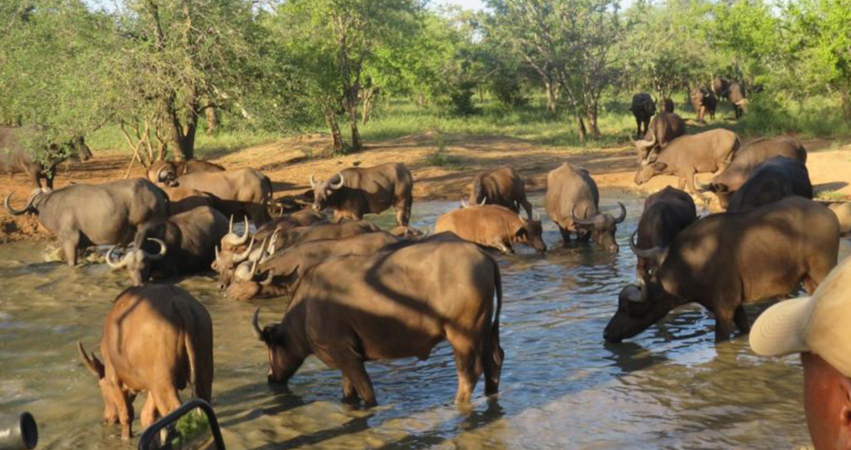 Garonga_Free-roaming-buffalo